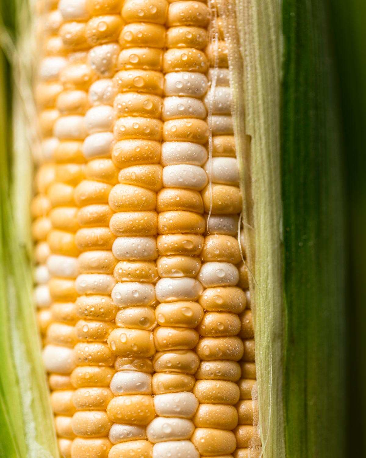A close-up view of bi-colored corn on the cob.
